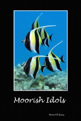 Moorish Idols by Stuart Ganz 